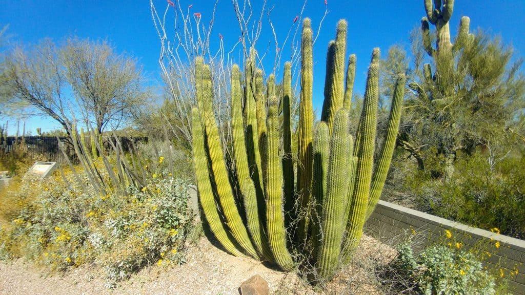 Organ Pipe Cactus Organ Pipe National Monument Arizona