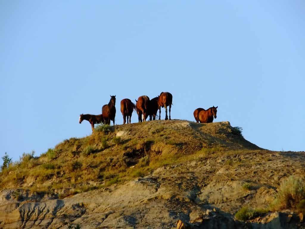 View Wild Horses Teddy Roosevelt National Park Medora North Dakota