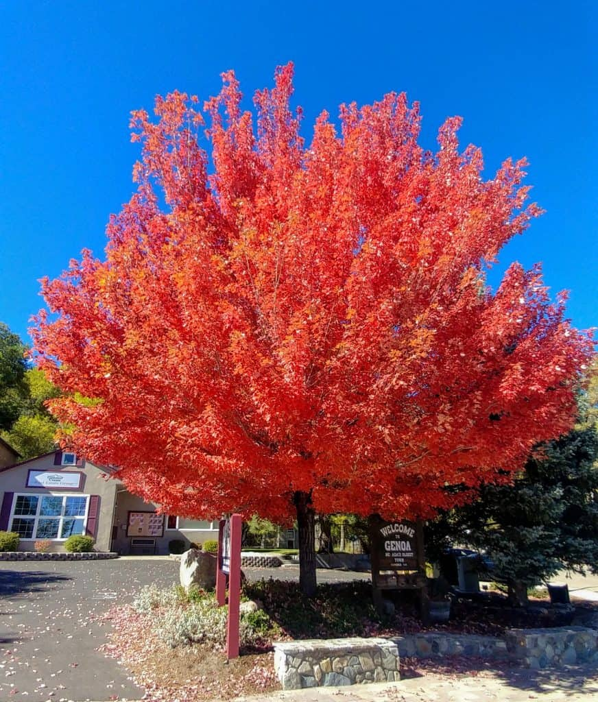 Fall Color on a Maple tree in Boise, Idaho
