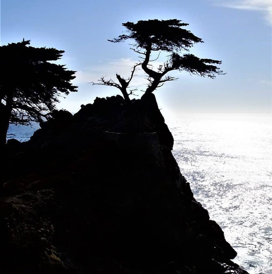 Lone Monterey Cypress Tree Pebble Beach California