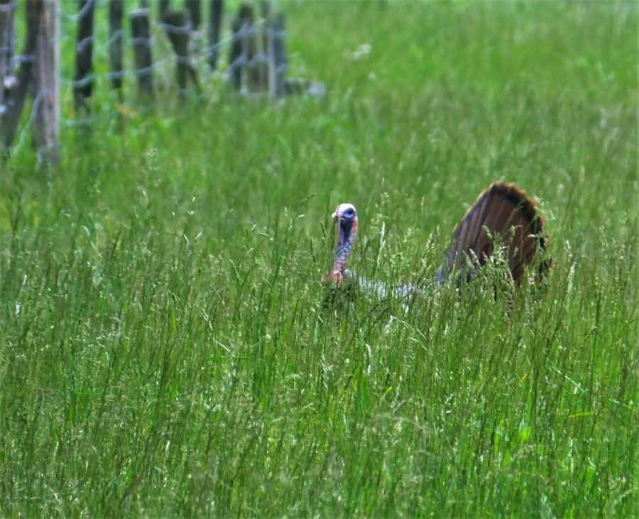 Turkey at Great Smoky Mountain National Park