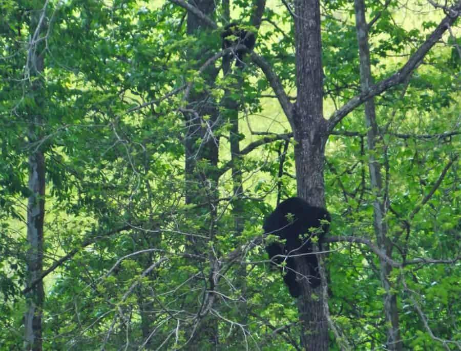 Sleeping Black Bear Great Smoky Mountain National Park