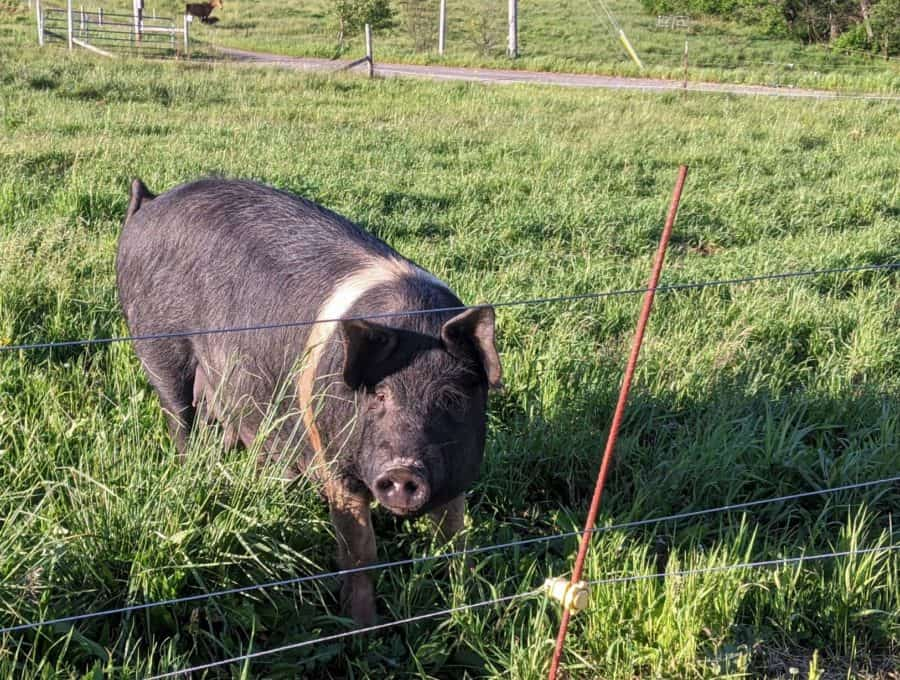 A very friendly sow at Lick Skillet Farm