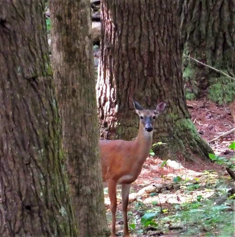 White Tail doe in Cades Cove.