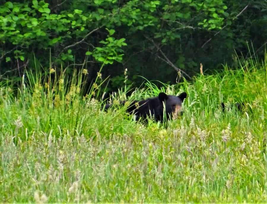 Black Bear Sow, the blur to the right is her cub, not tall enough to see over the grass.