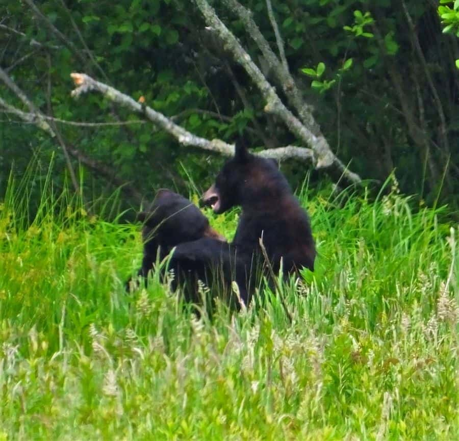 Two Black Bear cubs play fighting.