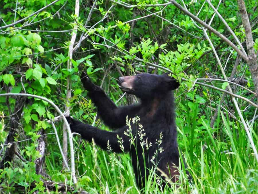 Black Bear eating leaves off a tree. About 30 yards away.