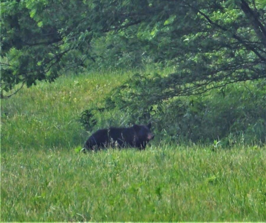 Long distance Black Bear Sow with two cubs.