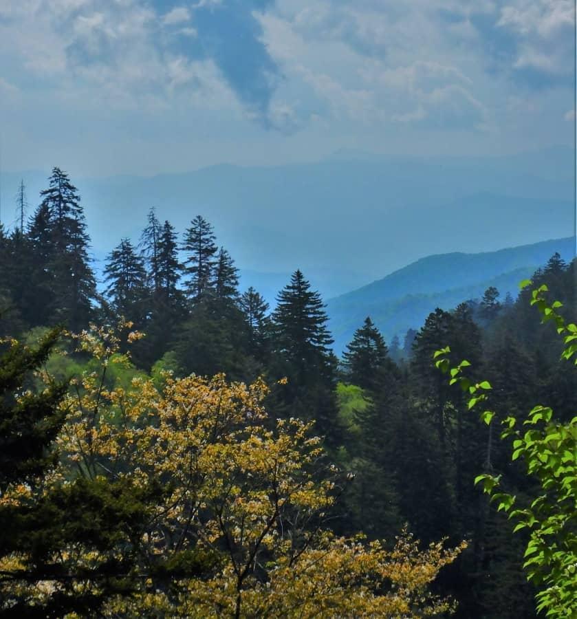 Pine trees in this Smoky Mountain Vista