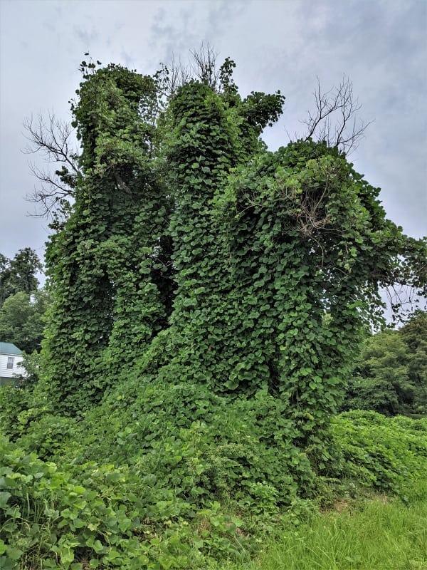 Kudzu killing a tree